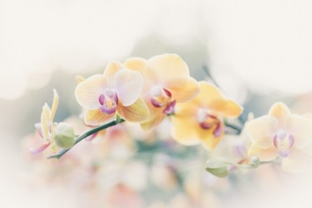 Orchid Flower Background 5