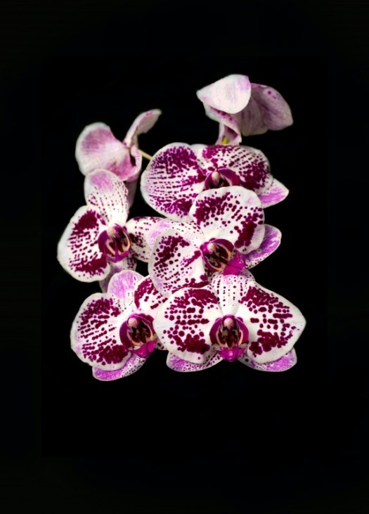 Orchid Flower Background 6