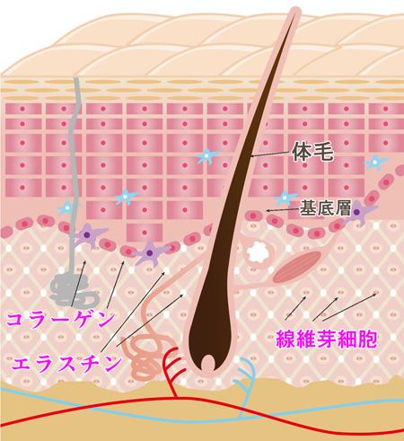 肌の弾力の説明画像