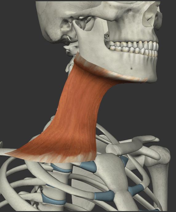 広頚筋の画像