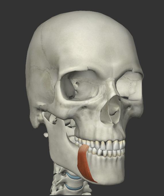 下唇下制筋(かしんかせいきん)の画像