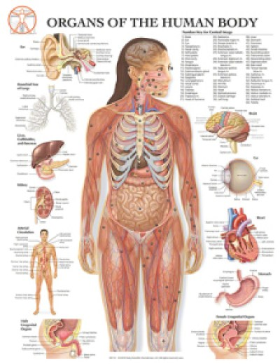 07-bs110_organs-of-the-human-body_20x26