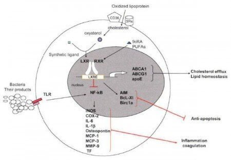 liver-x-protien-lxr-statins