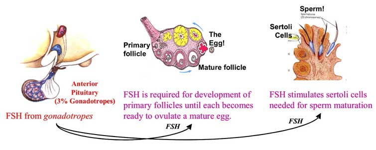 Fsh on mature sperm