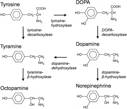dopamine_production2
