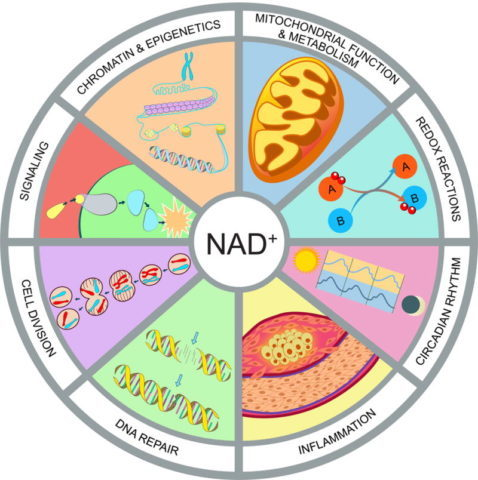 Nicotinamide Mononucleotide (NMN) Uses & Dosage - SelfHacked