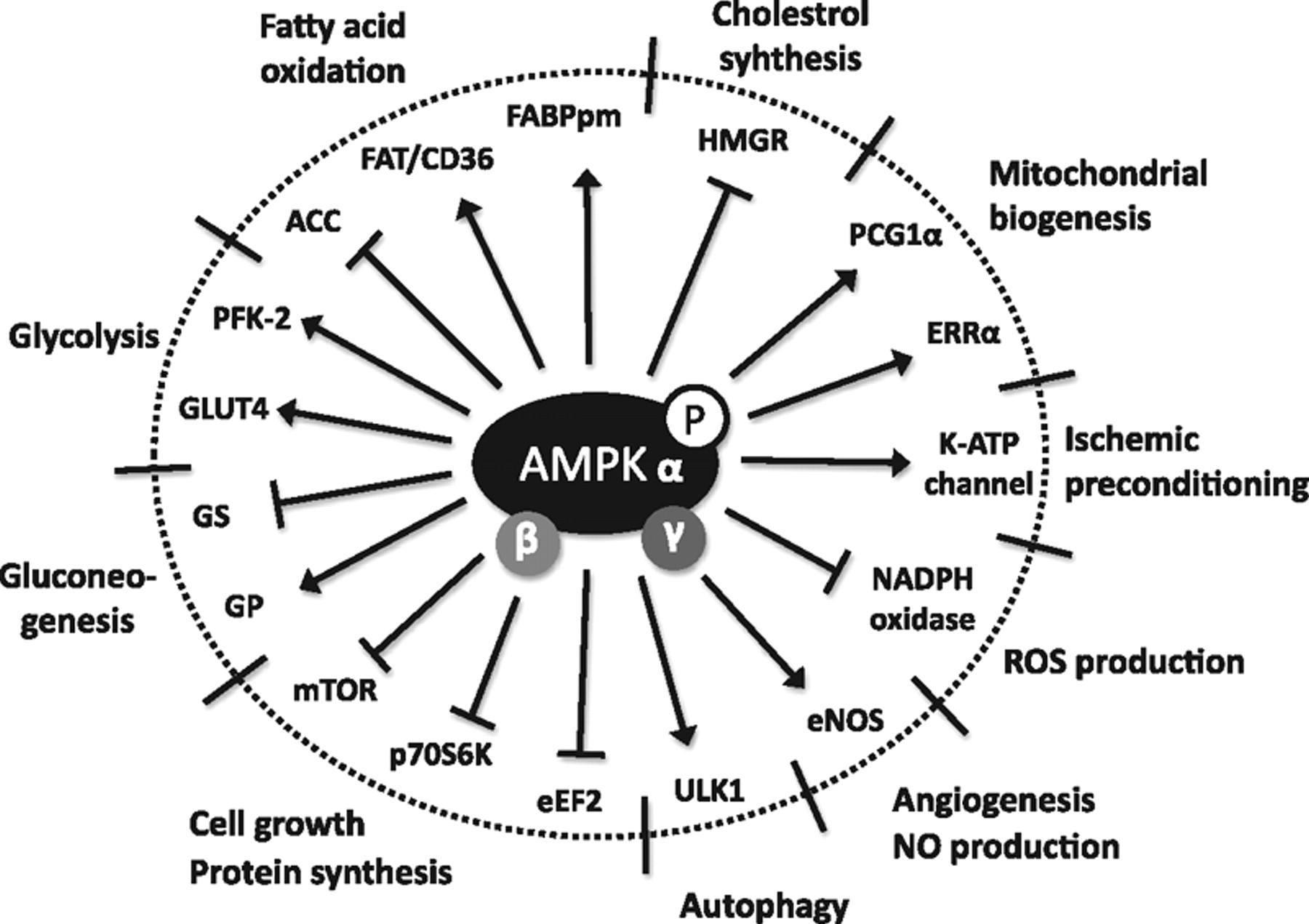 About Ampk And Natural Ampk Activators