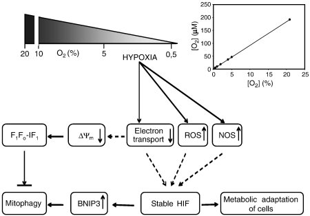 Major mitochondrial changes in hypoxia. Hypoxia could decrease electron-transport rate, increase reactive oxygen species (ROS) production, and enhance nitric oxide synthase (NOS). Source: http://www.sciencedirect.com/science/article/pii/S0005272810000575