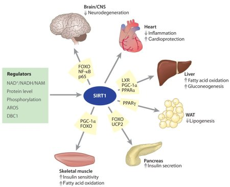How Sirt1 Affects Age-Related Physiology, source: https://www.ncbi.nlm.nih.gov/pmc/articles/PMC2866163/