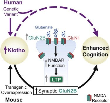UPDATED 032414 Klotho Graphical Abstract