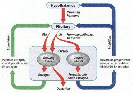 femalehormones9