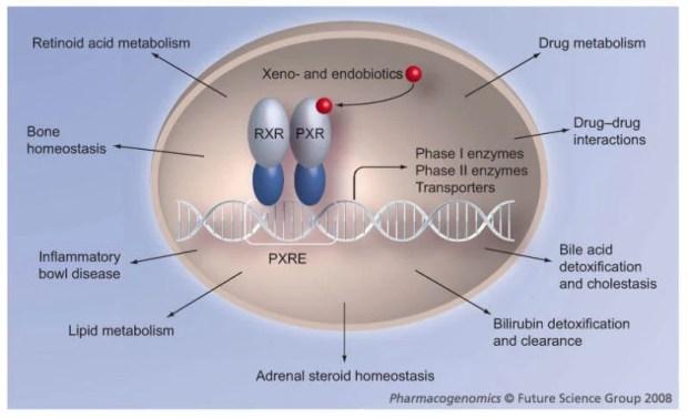 Image result for Pregnane x detoxification