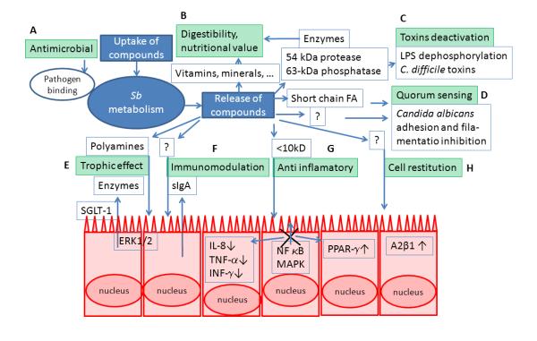 механизм работы сахаромицетов буларди