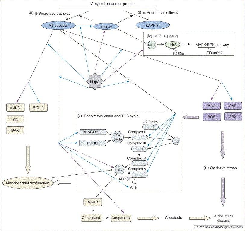How Huperzine A Helps with Alzheimer's, source: www.ncbi.nlm.nih.gov/pubmed/17056129