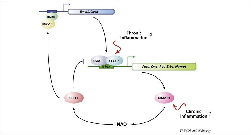 The relationship between circadian rhythm and NAD+ levels, and one of the ways that chronic inflammation can affect NAD+ levels. Source: https://www.ncbi.nlm.nih.gov/pubmed/24786309