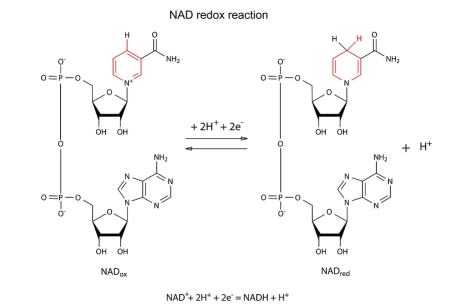 The chemical structures of NAD and NAD+.