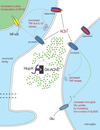 How Huperzine A Increases Acetylcholine levels in the brain