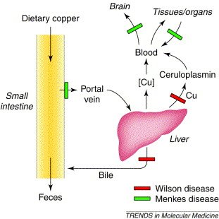 Copper transport metabolism, and the genetic block that occurs in Wilson's and Menkes' diseases.