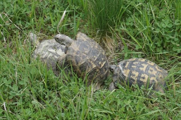 Love Valley tortoises getting frisky