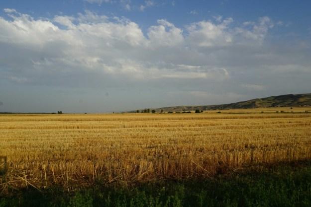 A calming picture of a wheatfield somewhere near Aghdash