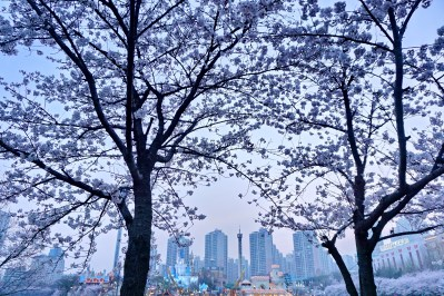 Cherry blossoms in the evening at Jamsil Lake, Seoul.