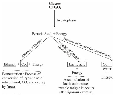 Breakdown of Glucose by various pathways in Respiration