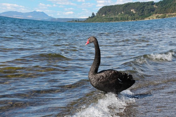 Only black swans down under