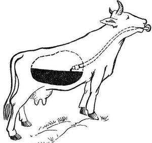tânăra de vite  boala