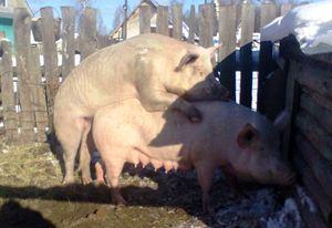 Можно ли резать свинью когда она беременна