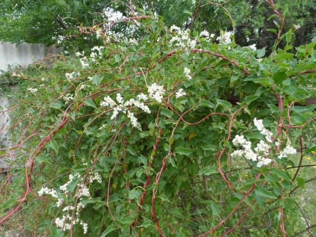 Вьющиеся растения для глинистых почв