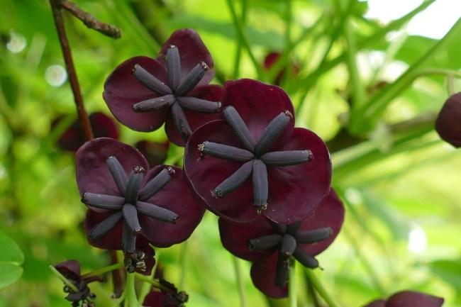 Многолетние вьющиеся растения