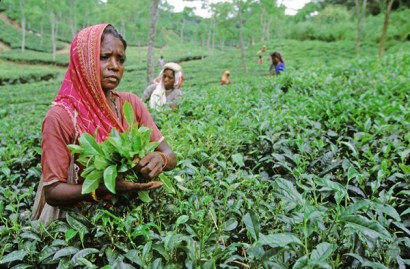 Plucker woman at tea garden