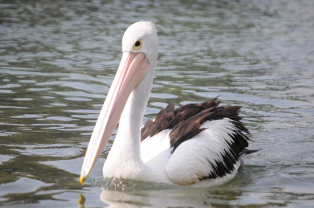 snow white pelican