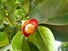 The beginnings of a mangosteen fruit.