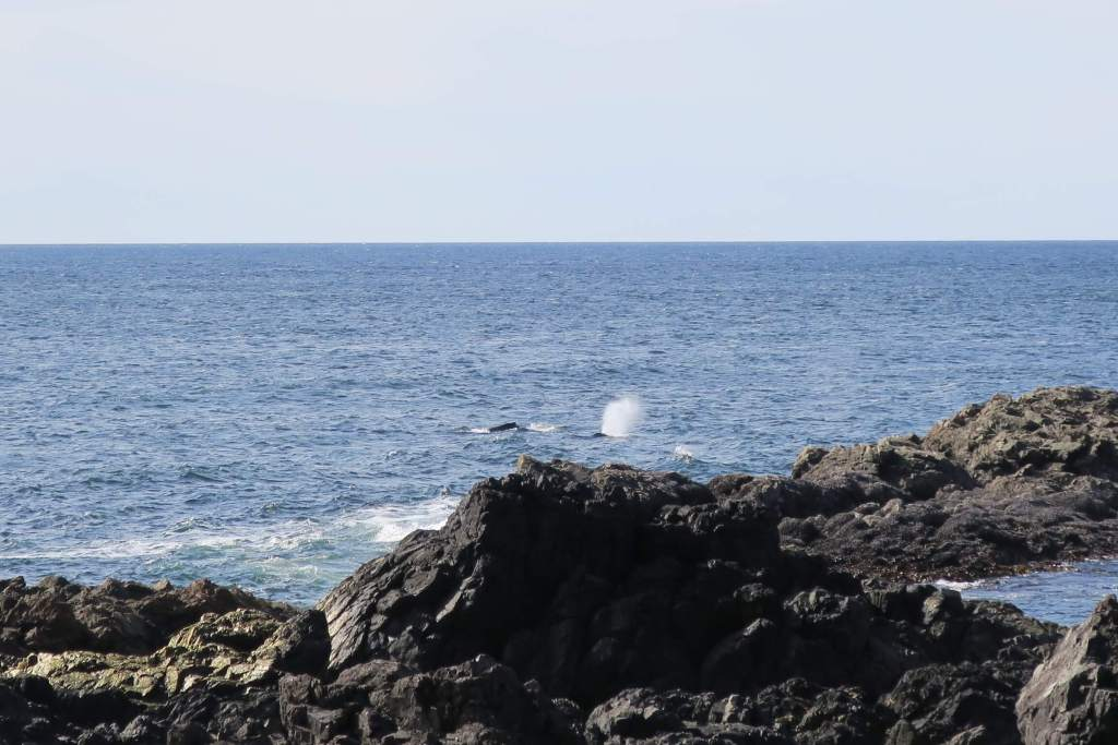gray whales along Lighthouse Trail in Ucluelet