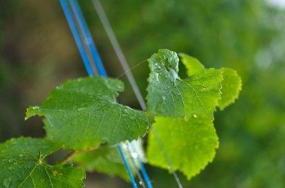 Goutte à goutte dans le vignoble alsacien.