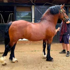 Tireve Typhoon. Welsh Cob Section D Stallion. Available For Lease