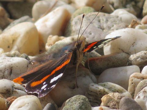 8 juni 2018: het zonnige weer bekoort vlinders, zoals deze atalanta.