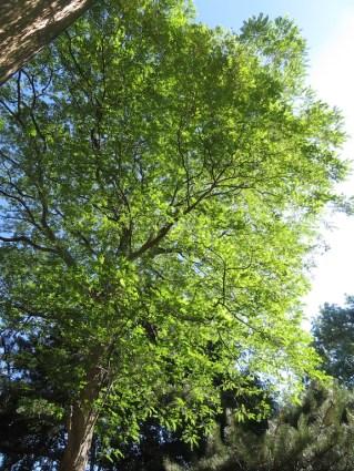 8 juli 2018: de acacia in de zijtuin gedijt uitstekend in de warme zomer, en had niet eerder zoveel bloesem.