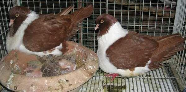 pierdere în greutate piept de porumbei)