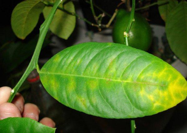 Как спасти лимонное дерево засыхает