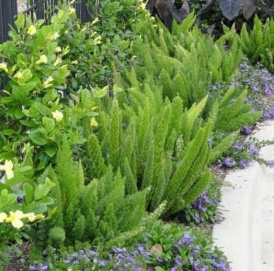 Чудо-спаржа: выращивание, посадка и уход. Виды комнатных аспарагусов и уход за ними в домашних условиях