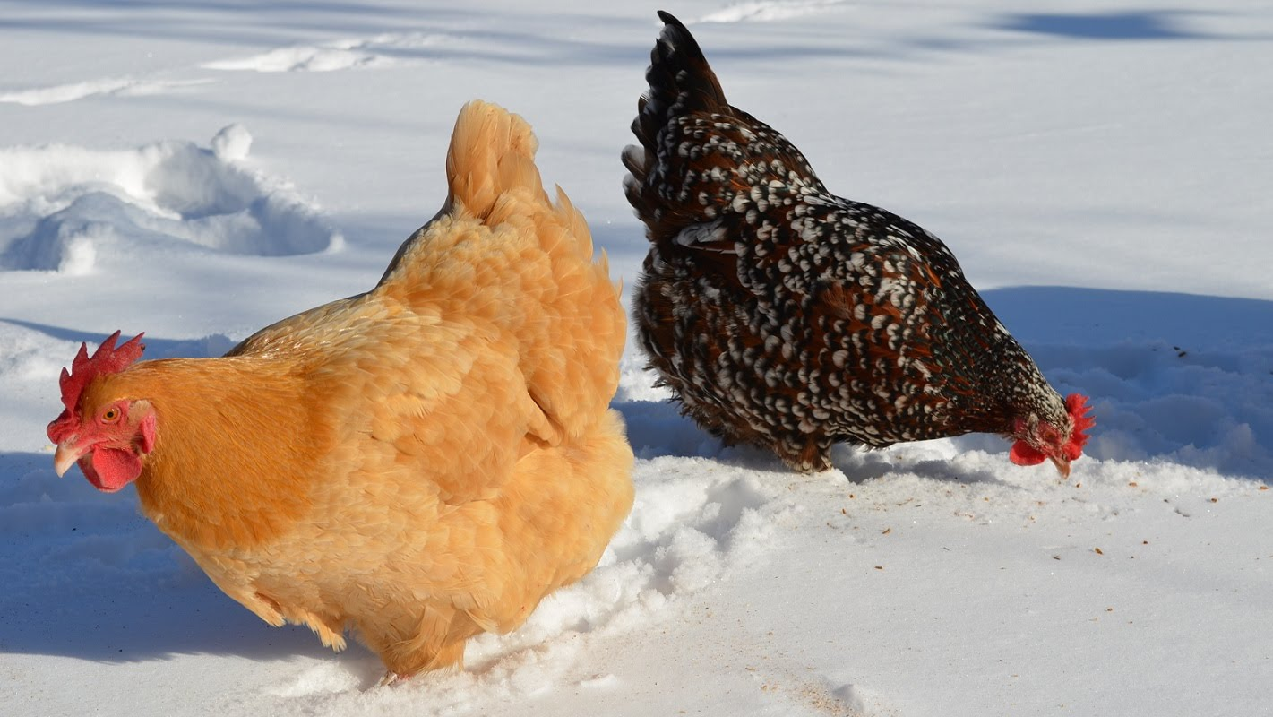 Høner om vinteren
