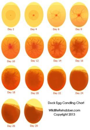 Egglysningsoversikt