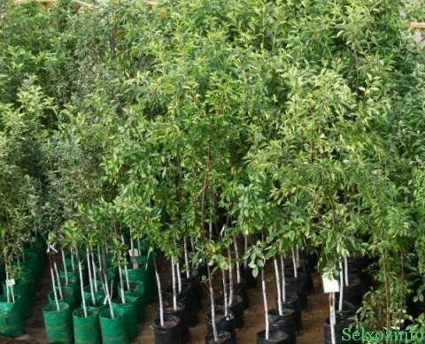 выбор саженцев плодовых деревьев