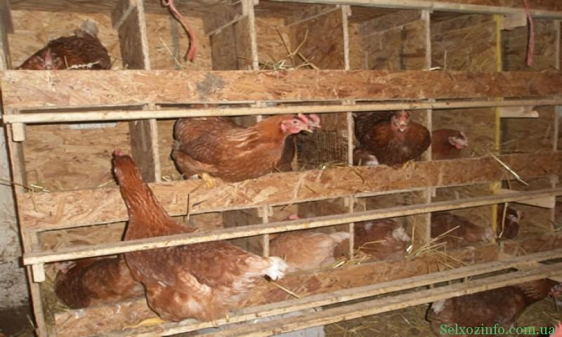 Содержание кур несушек в домашних условиях