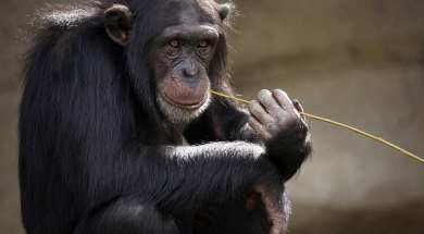 hipertextual-triste-trasfondo-video-viral-chimpance-navegando-instagram-2019781862