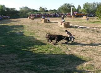 Traída de las vacas 2019 en Cintruénigo