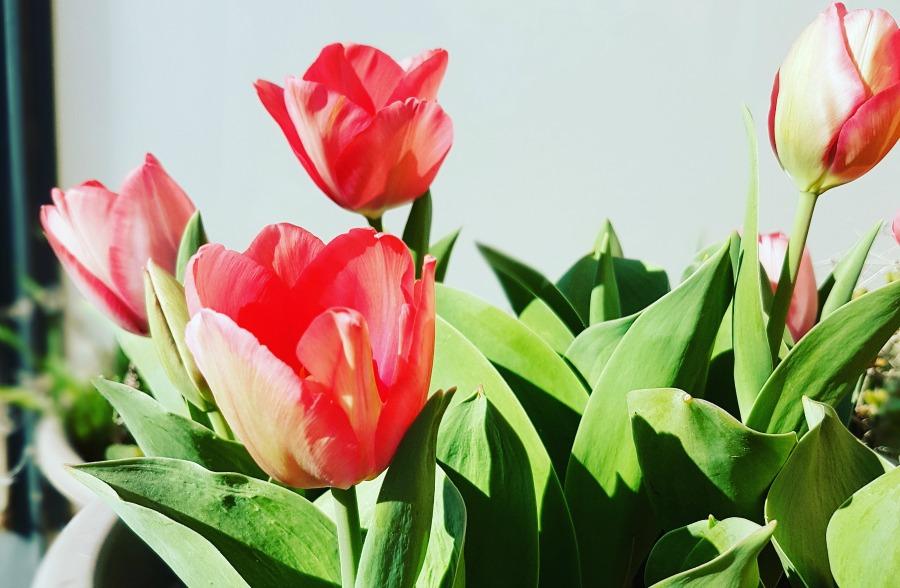 marzo_tulipanes