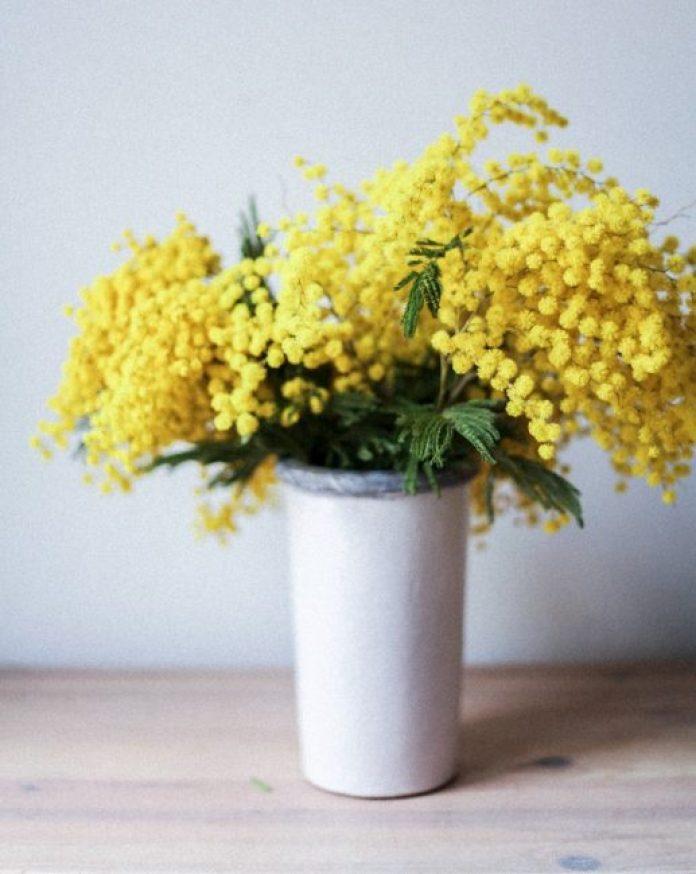 mimosa-8-marzo-italia